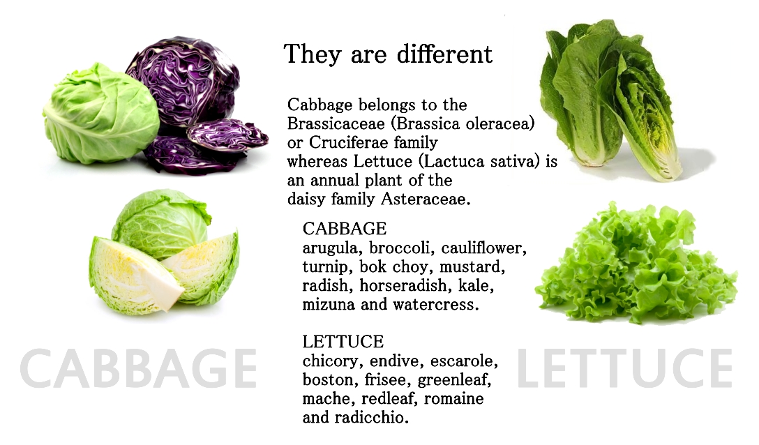 cabbage vs lettuce Crisphead is a pale green lettuce, similar in appearance to cabbage it has a crisp texture and mild flavor baby spinach vs lettuce healthy eating.
