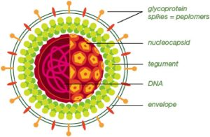 The structure of a herpes simplex